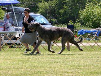 אייריש וולפהאונד בתחרות כלבים