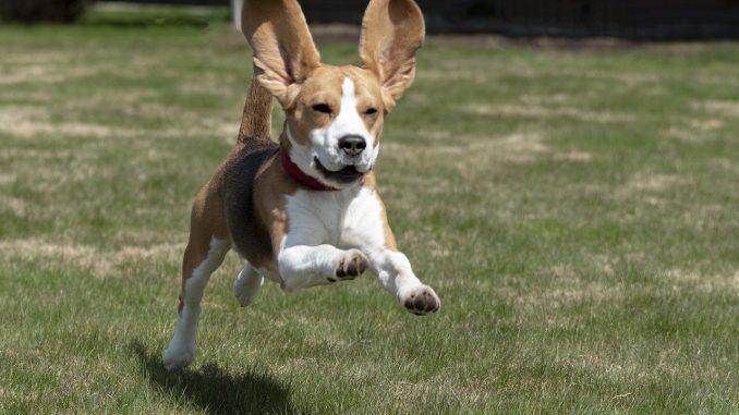 ביגל - Beagle