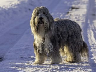 בירדד קולי - Bearded Collie