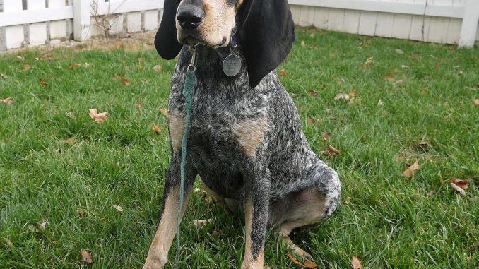 בלוטיק קונהאונד - Bluetick Coonhound
