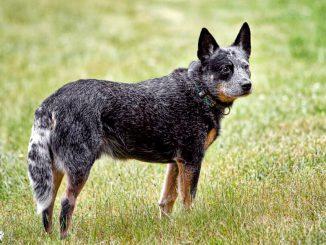 גזע כלבים כלב בקר אוסטרלי - Australian Cattle Dog