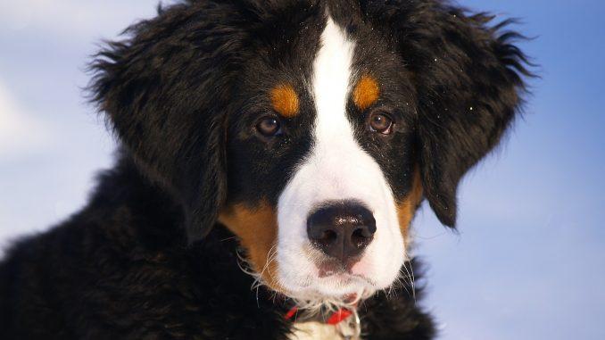 ברנר זננהונד - Bernese Mountain Dog