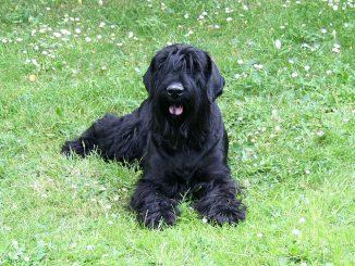 טרייר רוסי שחור - Black Russian Terrier