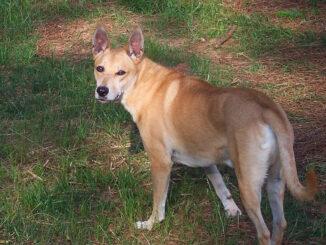 כלב קרוליינה - Carolina Dog