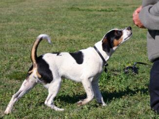 כלב חווה דני שבדי - Danish-Swedish Farmdog