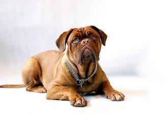 דוג דה בורדו - Dogue de Bordeaux