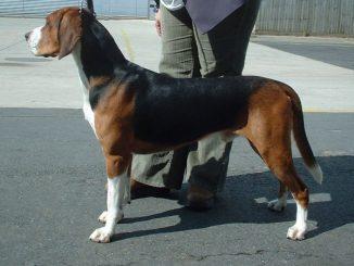 גזע כלבים המילטון האונד Hamiltonstovare