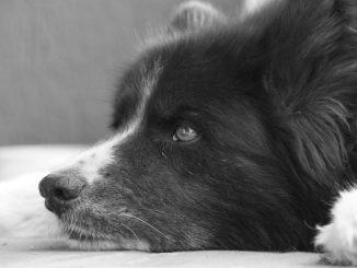 כלב דוב קרלי - Karelian Bear Dog