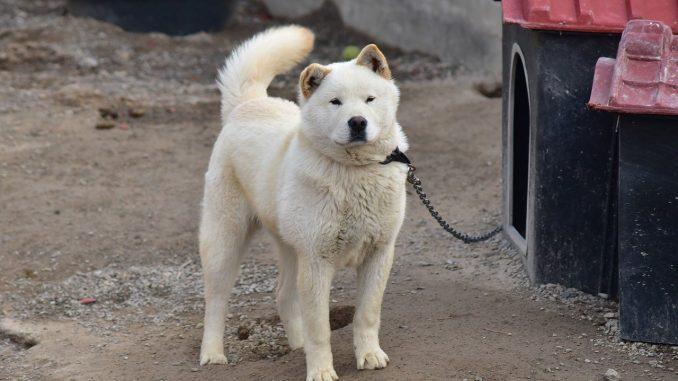 ג'ינדו קוריאני - Korean Jindo Dog