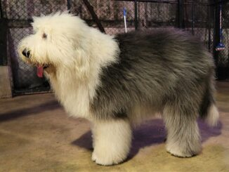 כלב צאן אנגלי עתיק - Old English Sheepdog