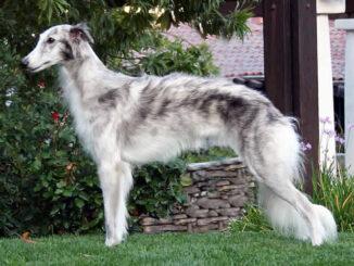 כלב רוח סילקי - Silken Windhound