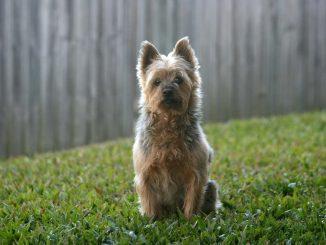 טרייר סילקי אוסטרלי - Silky Terrier