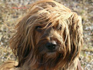 טרייר טיבטי - Tibetan Terrier