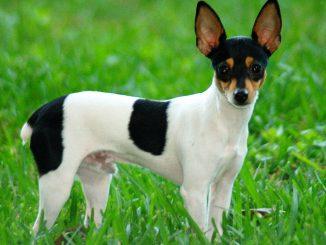טוי פוקס טרייר אמריקאי - Toy Fox Terrier