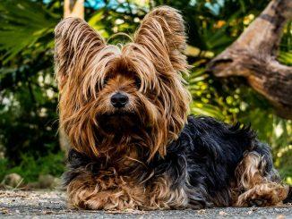 יורקשייר טרייר - Yorkshire Terrier