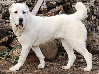 כלב רועים אסייתי - Central Asian Shepherd Dog
