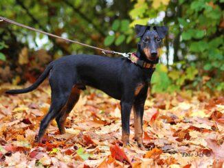 מנצ'סטר טרייר - Manchester Terrier