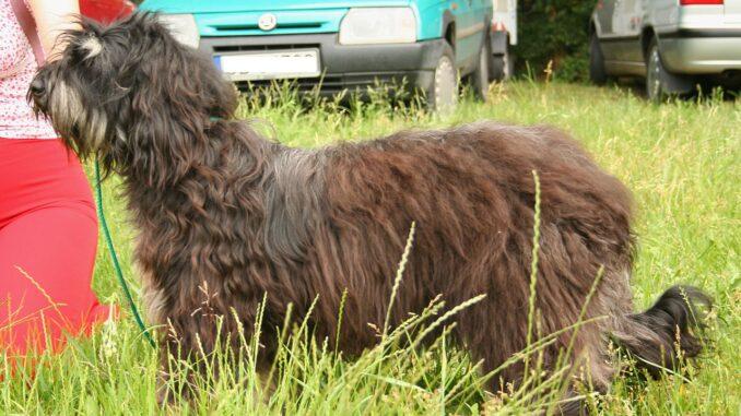 כלב רועים פורטוגזי - Portuguese Sheepdog