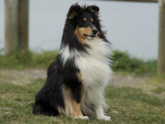 כלב רועים שלטי - Shetland Sheepdog