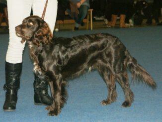 ספניאל גרמני - Deutscher Wachtelhund