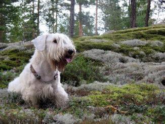 סיליהם טרייר - Sealyham Terrier